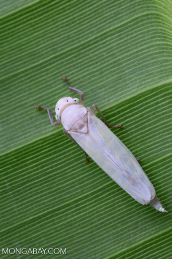 White planthopper