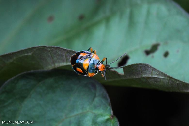 Black, orange, and turquoise stink bug