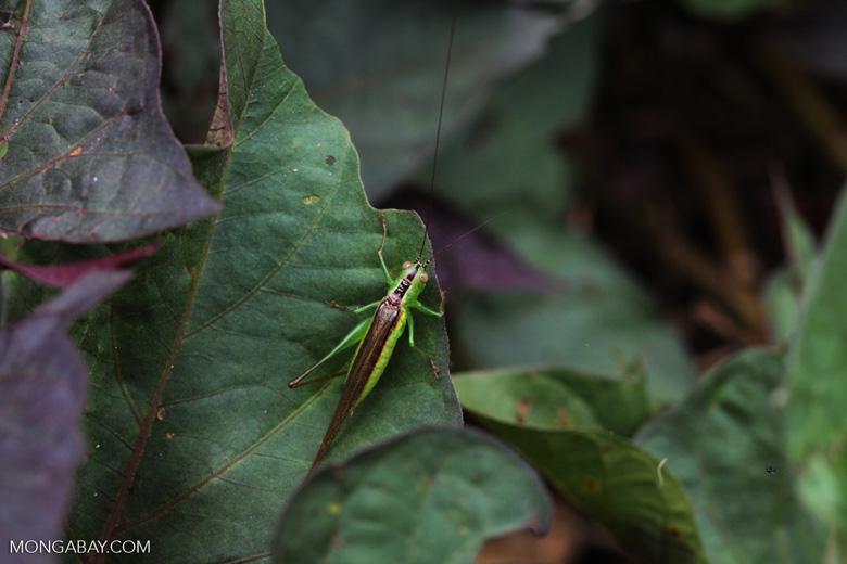 Green and brown katydid