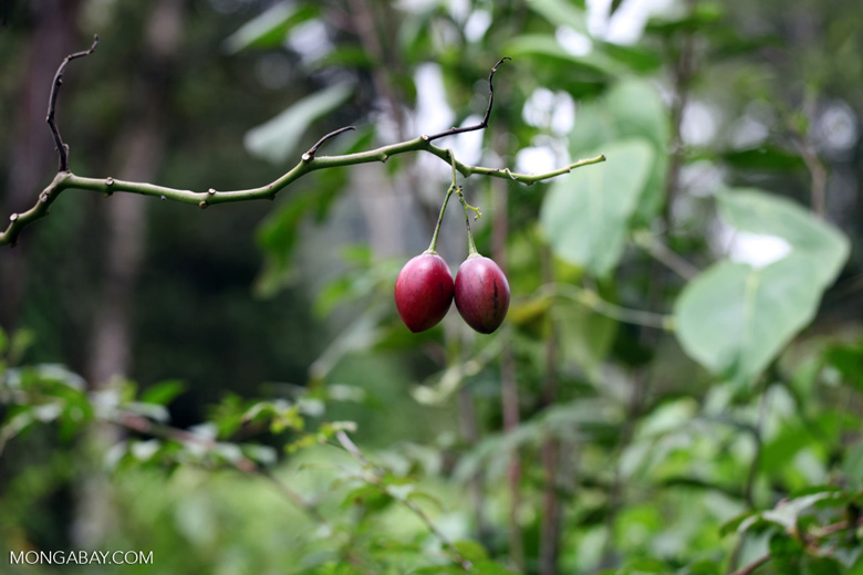 Red fruit in New Guinea