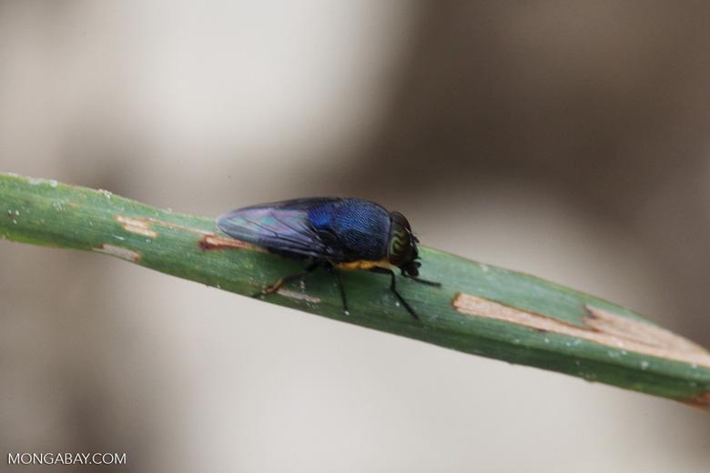 Indigo blue fly