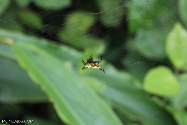 Spiny orb-weaver spider (Gasteracantha sp)