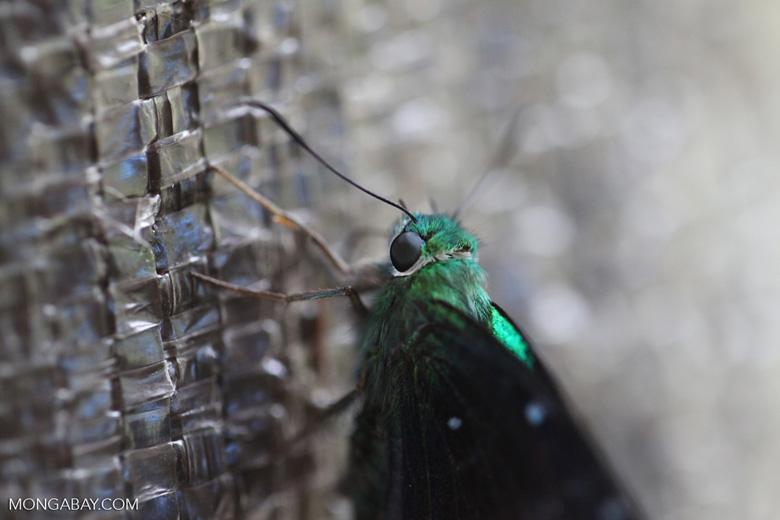 Neon green skipper butterfly