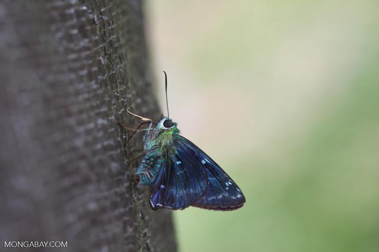 Metallic neon green butterfly