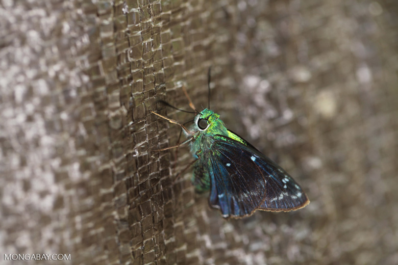 Neon green skipper butterfly