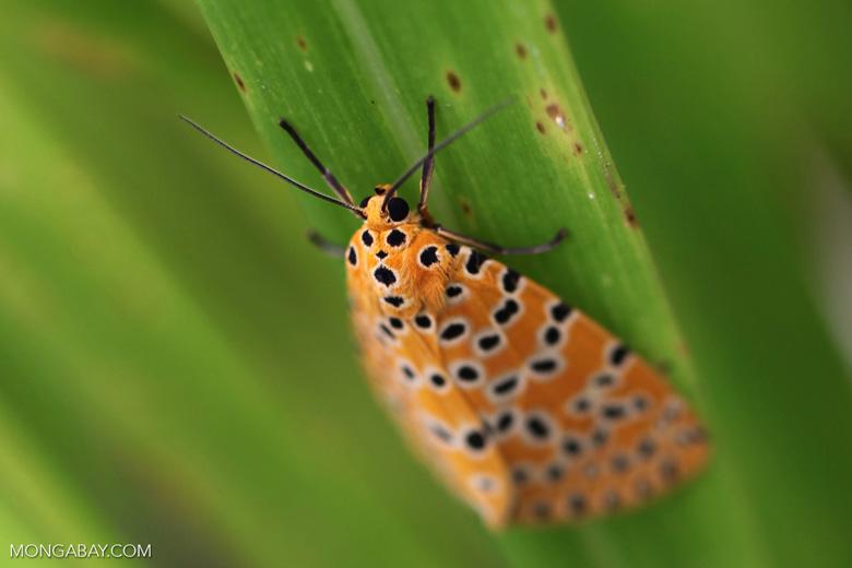 Orange moth with black and yellow polkadots