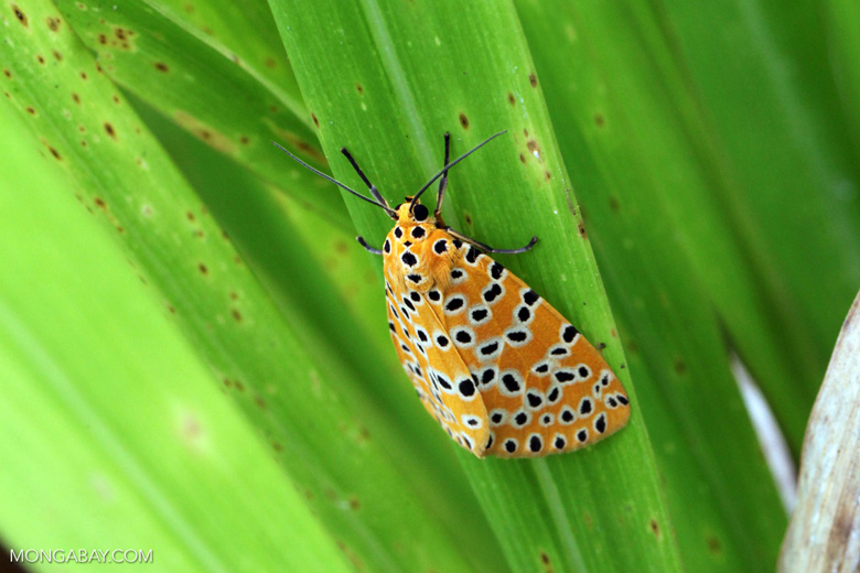 Orange moth with black and yellow polkadots