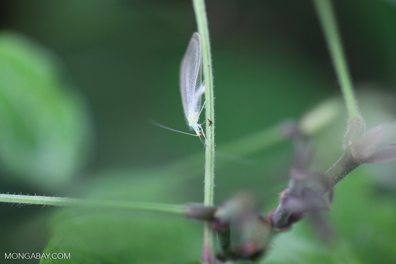 White ghost-like lacewing insect (Neuroptera: Chrysopidae)