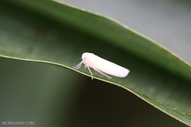 White planthopper