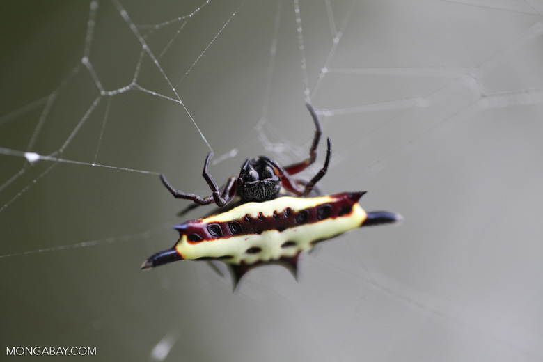 Black, yellow, and maroon spiny orb-weaver spider (Gasteracantha sp)
