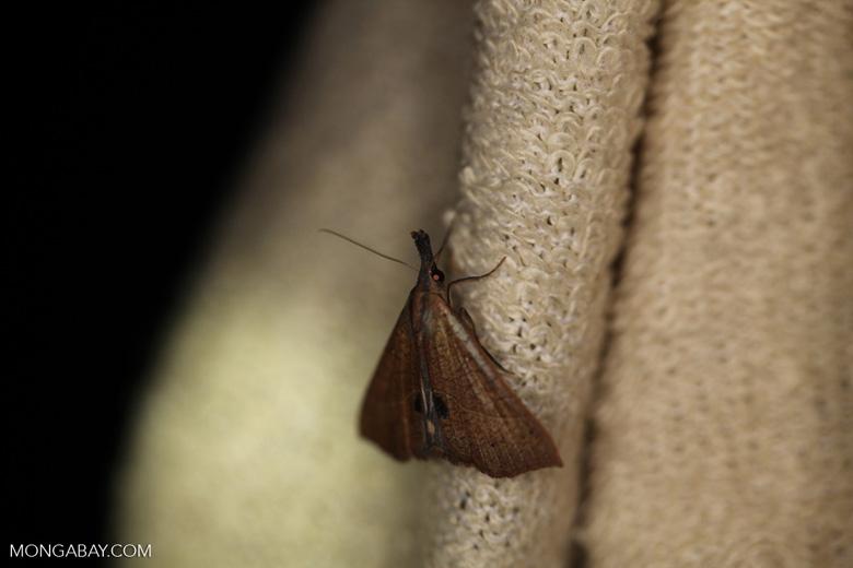 Leaf-like moth