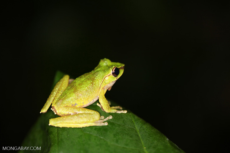 Green tree frog in New Guinea (Litoria torrent-breeding hylid)