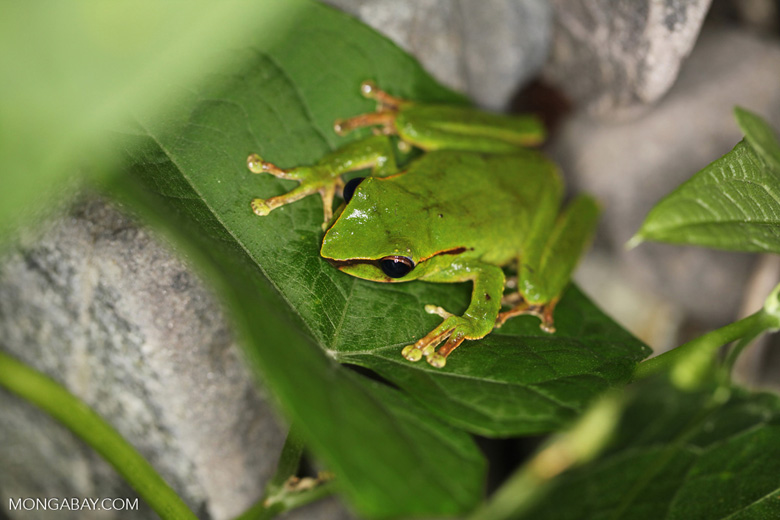 Tree frog in New Guinea (Litoria torrent-breeding hylid)