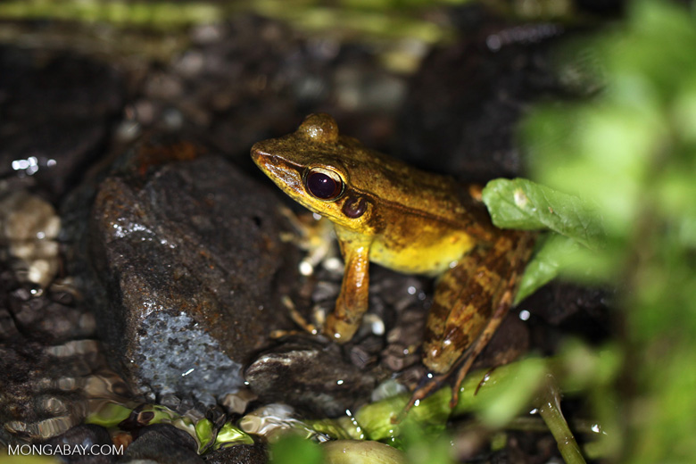 Rana grisea frog in New Guinea
