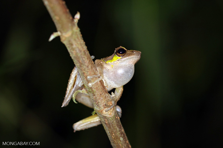 Tree frog in New Guinea (Torrent Litoria species, very probably aligned with Litoria arfakiana)