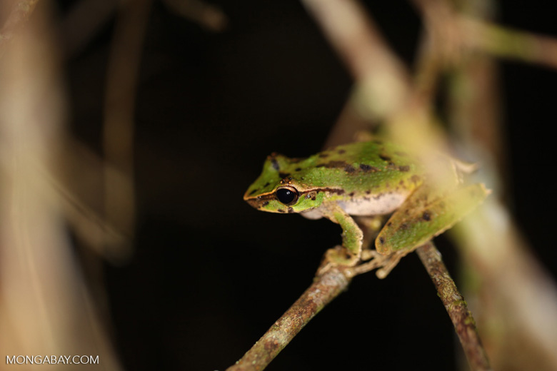 Spotted tree frog in New Guinea (Litoria species)