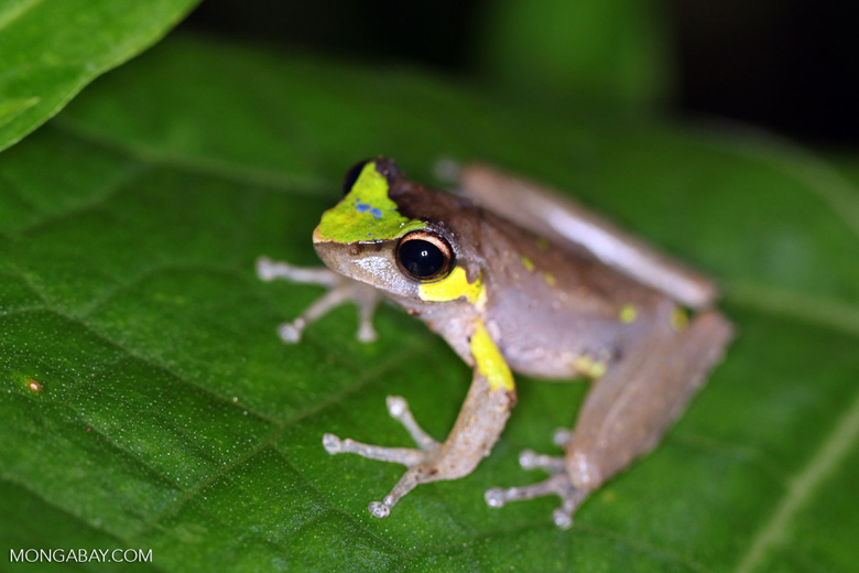 Brown frog with neon green and blue markings (Litoria species)