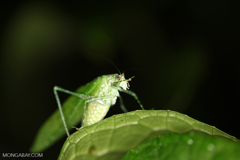 Green katydid with red eyes