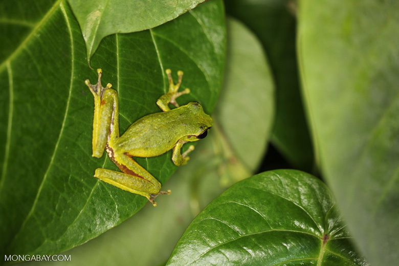 Litoria tree frog in New Guinea