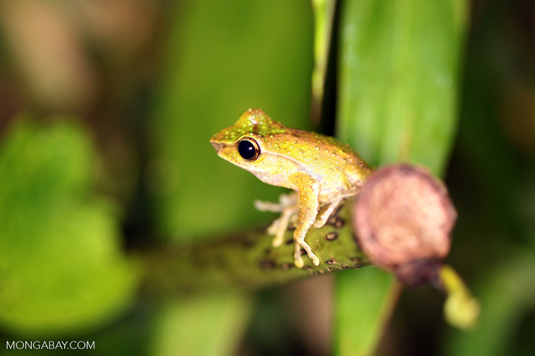 Tree frog in New Guinea