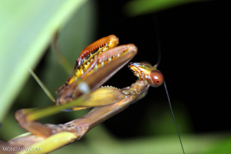 Praying mantis in New Guinea