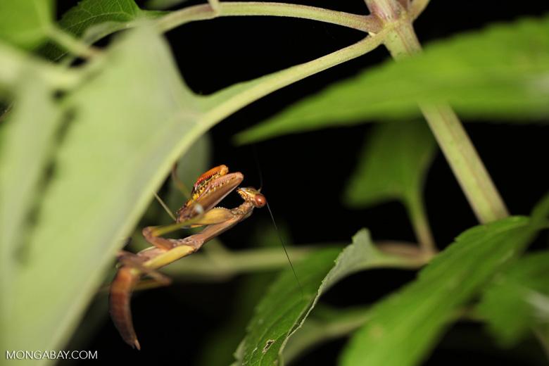 Praying mantis in New Guinea