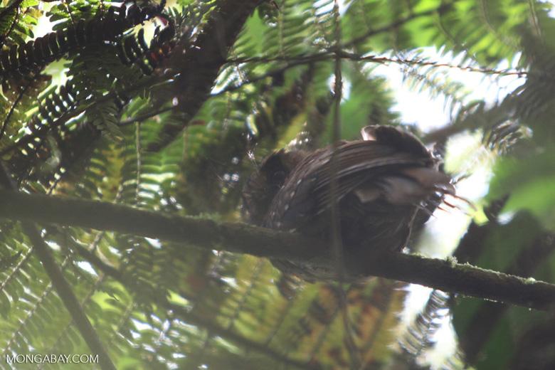 Mountain Owlet-Nightjar (Aegotheles albertisi)