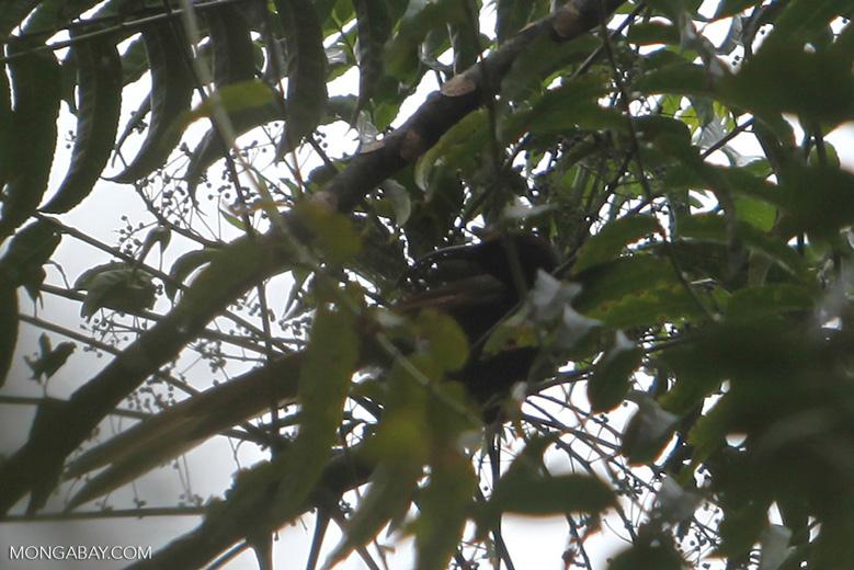 Black-billed Sicklebill (Drepanornis albertisi)