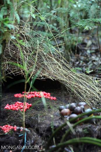 Vogelkop Bowerbird built with red fruit, black fungi, and brown seed pods