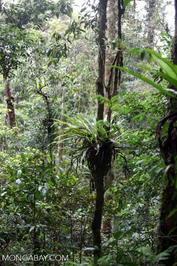 Birdnest fern in New Guinea