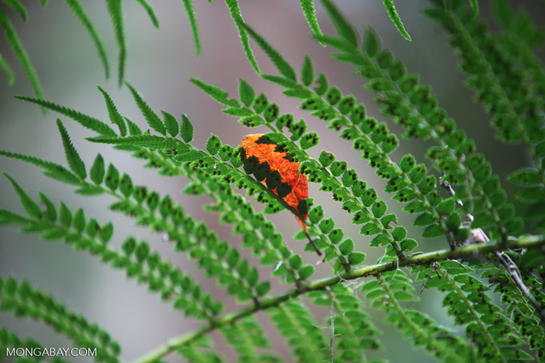 Orange leaf on a fern in New Guinea