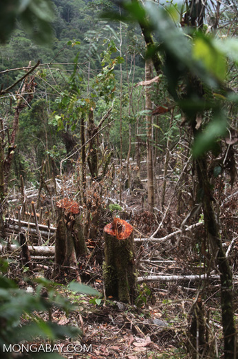 Logging in New Guinea