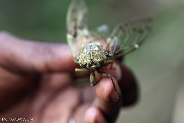 Cicada in New Guinea