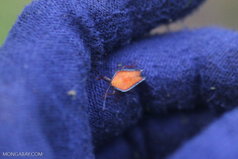 Orange insect with a blue fringe