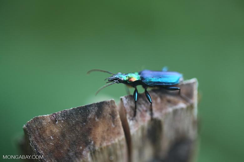 Metallic blue, green, and orange beetle (Catascopus sp of the Carabidae family)
