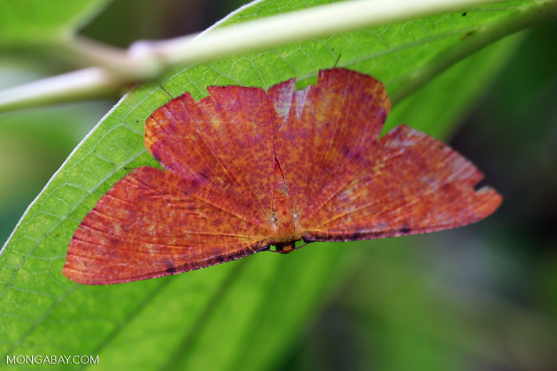 Bright red-orange moth