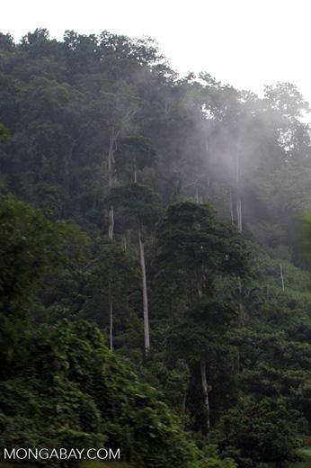 Arfak forest