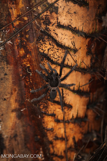 Giant spider in New Guinea