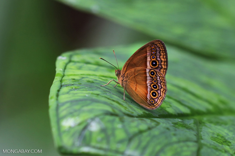 Stunning orange butterfly with eyespots