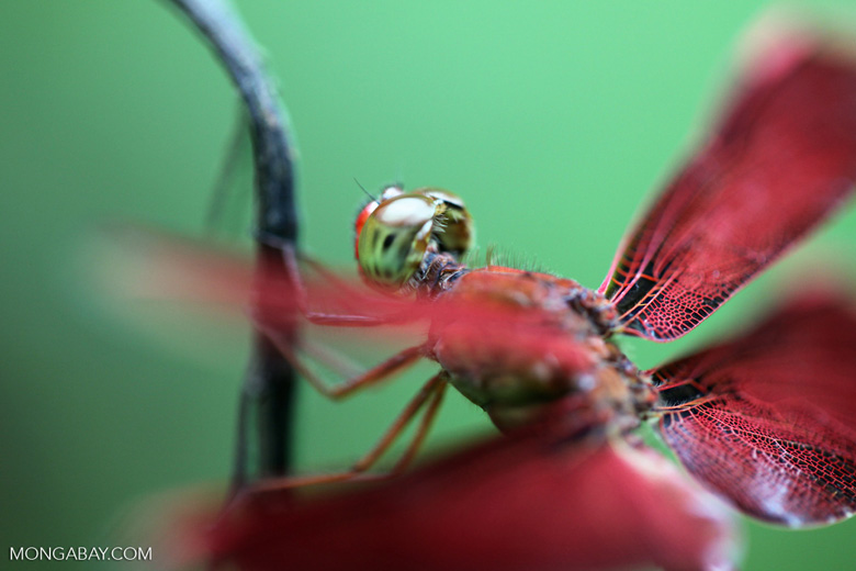 Red grasshawk dragonfly