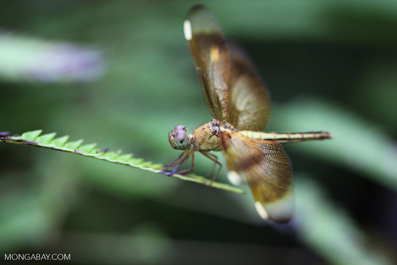 Yellow grasshawk dragonfly