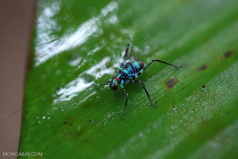 Turquoise blue katydid larva