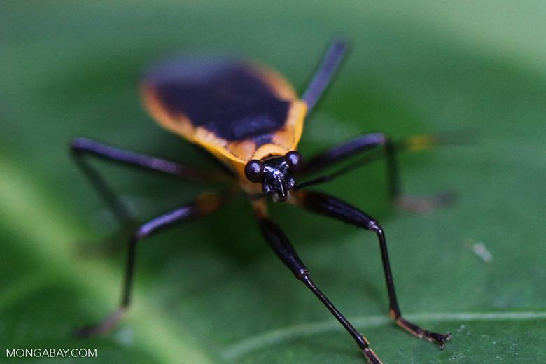 Black bug with an orange fringe
