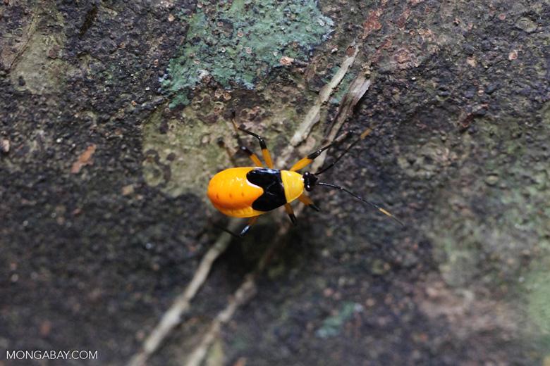Halloween bug (black and orange)