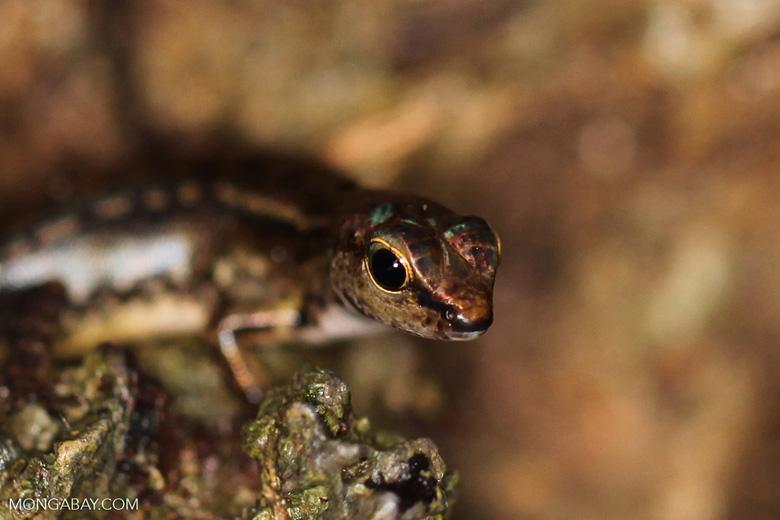 Sphenomorphus skink species