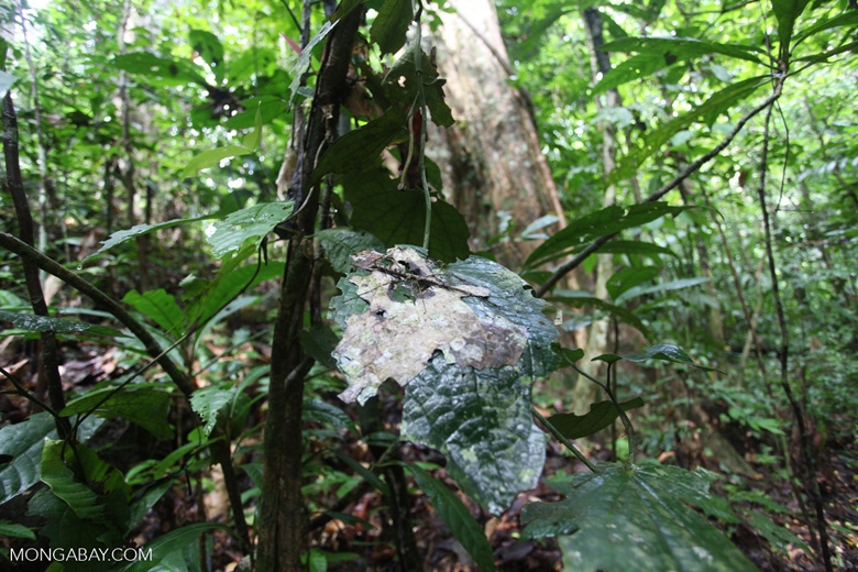 Spiny stick insect in the New Guinea rainforest