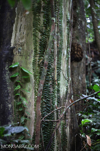 Vines growing up the trunk of a rainforest tree in New Guinea