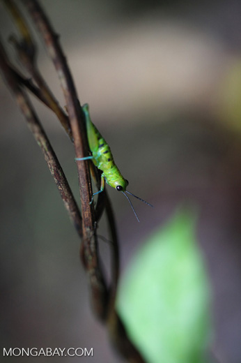 Green grasshopper with turquoise legs