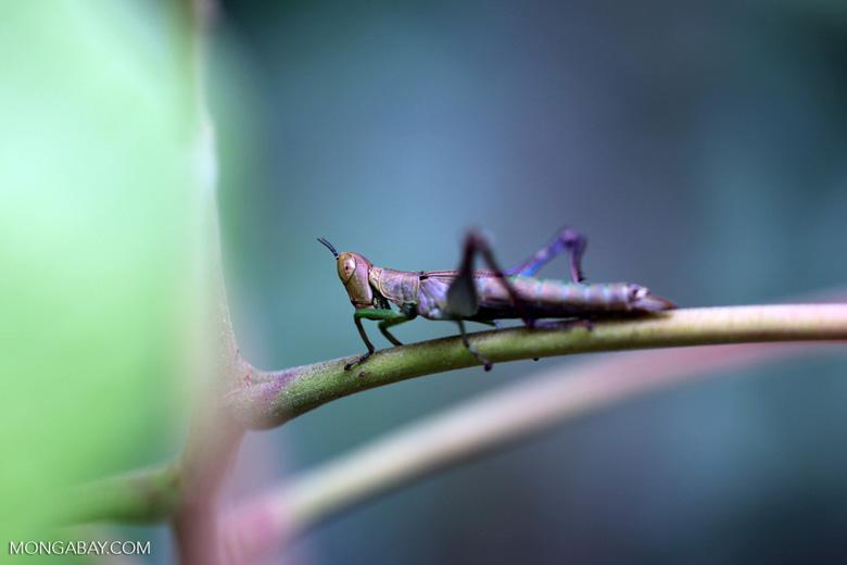 Violet grasshopper