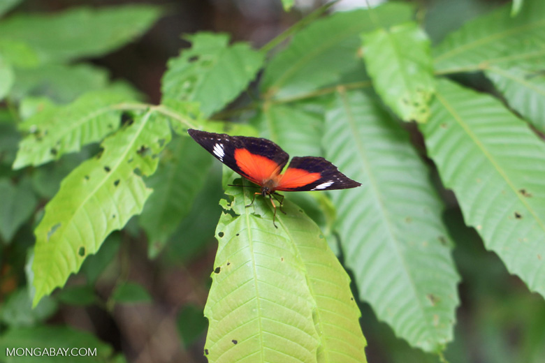 Red, black, and white butterfly in New Guinea
